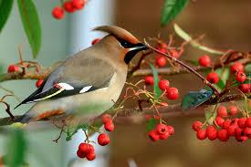 Jemiołuszka ptak